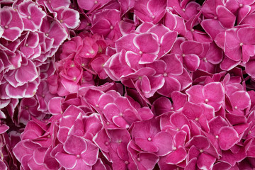 Papiers peints Rose Beautiful background of pink flowers of large-leaved hydrangea