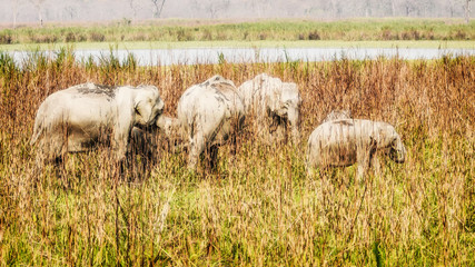 Elephant Herd - Kaziranga National Park