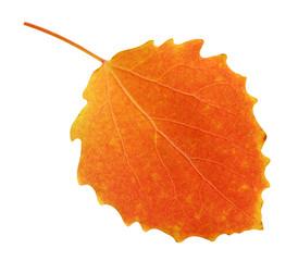 one autumn aspen leaf isolated on white background
