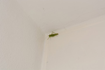 Great green bush-cricket (Tettigonia viridissima) - large species of katydid
