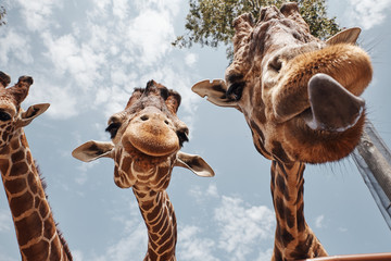 two huge giraffes sticking out their tongues
