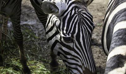 Aluminium Prints Zebras wild nature