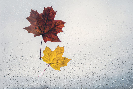 Fallen maple leaves on the window with raindrops. Autumn concept. instagram