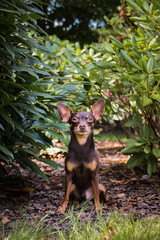 Dog breed Pinscher is sitting in rhododendron. He is happy boy and he has fun.