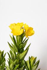 Flowers of yellow evening primrose Oenothera