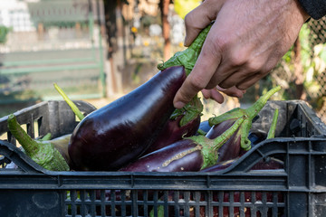 Male hands picking organic eggplants from a plastic crate. Autumn aubergines harvest and sustainable agriculture crops concept.