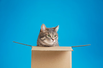 Cute grey tabby cat sitting in cardboard box on blue background