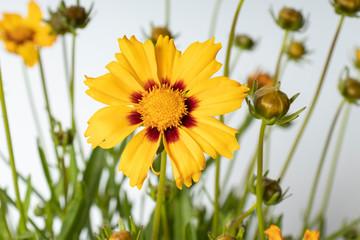Flower of tickseed Coreopsis grandiflora Sunfire
