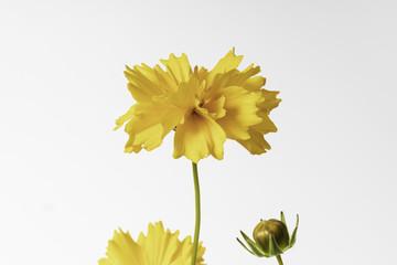 Yellow flowers of tickseed Coreopsis grandiflora sunrise