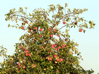 Roter Apfelbaum Krone