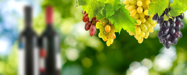 Fototapete - bunches of grapes and bottles of wine closeup