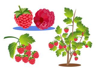 Raspberries set. Branch, bush and berry isolated on a white background. In minimalist style. Cartoon flat vector