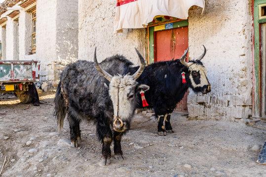 Homemade yaks in a Tibetan village. Tibet. China