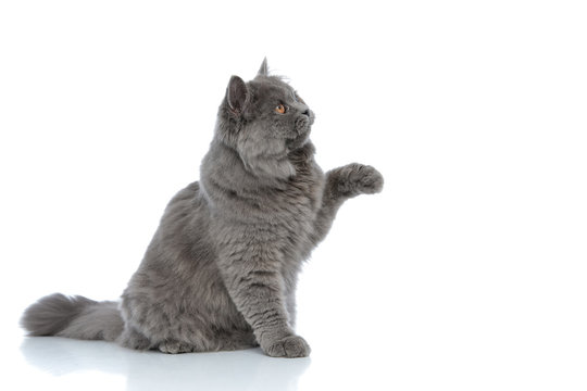 british longhair cat playing with one paw up happy