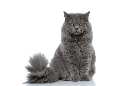 british longhair cat sitting and staring at camera calm
