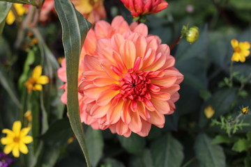 Closeup of a beautiful pink dahlia flower in the garden with copy space