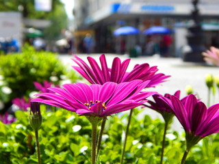 Closeup of the pink blossoms of cape daisy in a shopping street