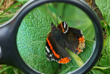 a black magnifier magnifies a colored butterfly on a green leaf of a plant