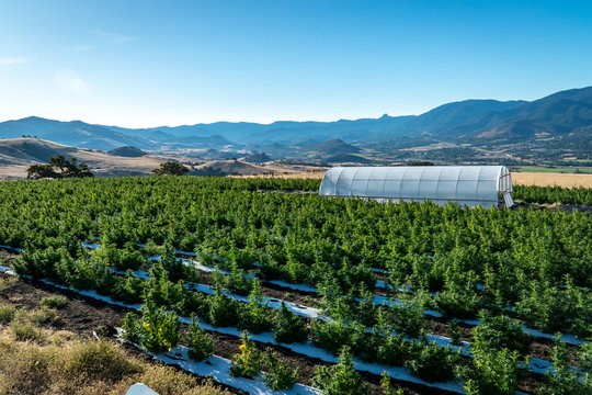 Rows of marijuana plants on a farm in the hills above Ashland in Southern Oregon on a beautiful sunny summer morning