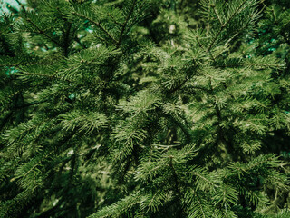 Coniferous branch close-up. Background forest natural image...