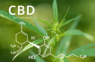Cannabidiol (CBD) molecule formula with Marijuana background, Cannabis sativa leaves.