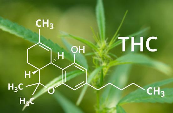 Tetrahydrocannabinol or THC molecule formula with Marijuana background, Cannabis .
