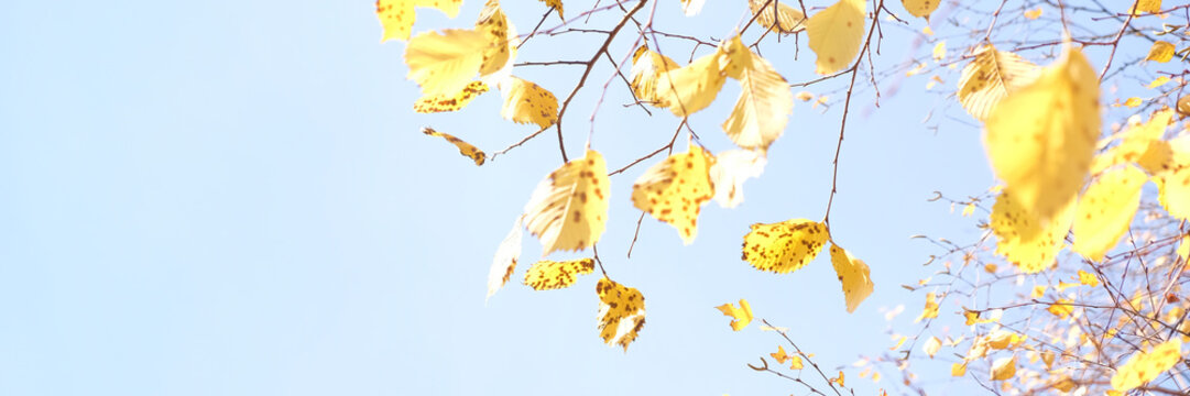 Yellow foliage in the autumn park. Autumn leaves sky background.