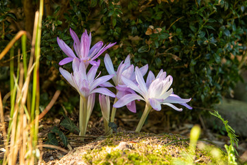 Autumn crocus or Colchicum autumnale flowers