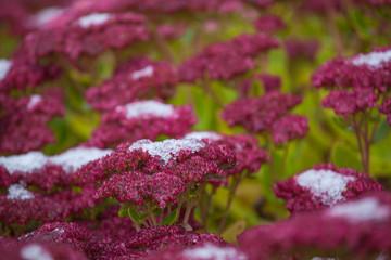 Poster Crimson snow plant flower grass background