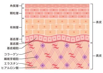 皮膚の構造 肌図 断面図