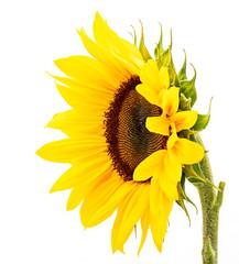 Blüte einer Sonnenblume isoliert auf weißem Hintergrund