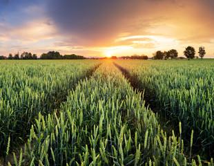 Wheat green field at dramatic sunset
