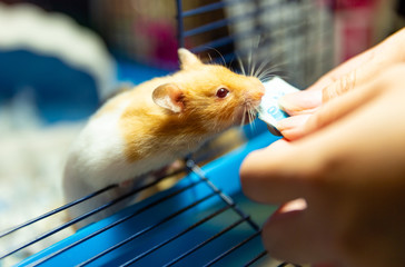 hamster eating food from human hand