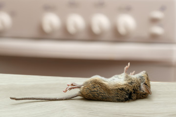 Dead mouse in an apartment kitchen. Inside high-rise buildings. Fight with rodent in the apartment. Extermination.