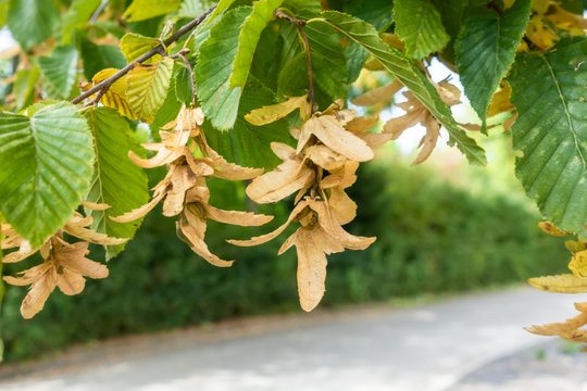 typical seeds of a hornbeam tree