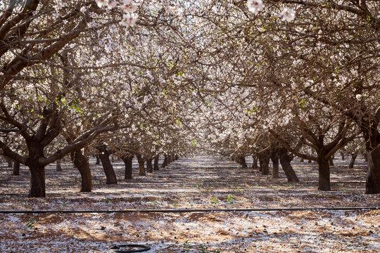 Beautiful almond Blossom in Australia.