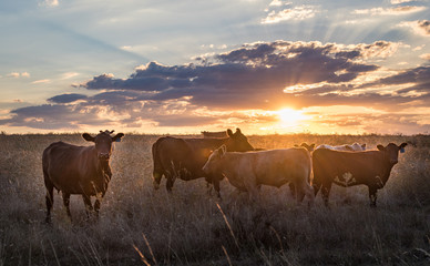 The herd of cow playing on grass in beautiful sunset.