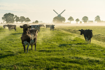 Photo sur Toile Vache Cows in the Dutch countryside during a foggy morning.