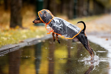funny dog in a rain coat jumping in a puddle in autumn