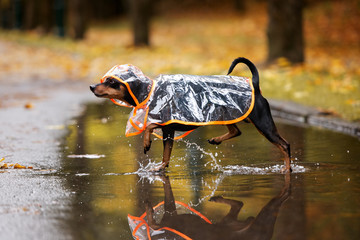 adorable pinscher dog walking on a puddle in a rain coat