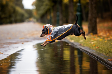 funny dog in a rain coat jumping over a puddle in autumn