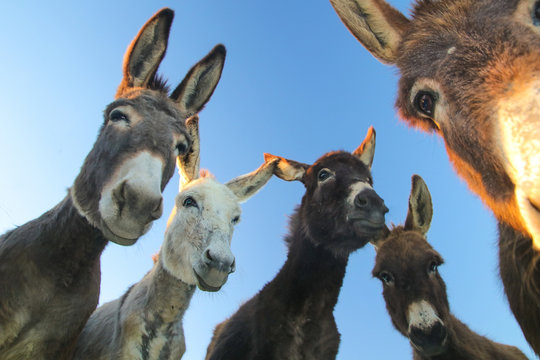 Portrait of five curious funny donkeys