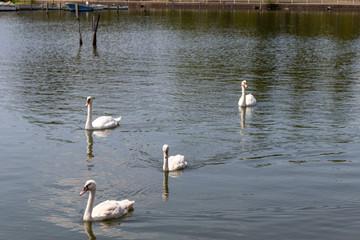 手賀沼の白鳥