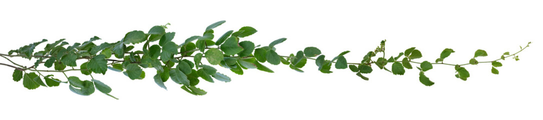 Green leaves Vine isolated, ivy jungle creeper tropical against white background. Have clipping path