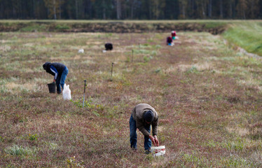 Workers harvest cranberries at a state farm in the village of Selishche
