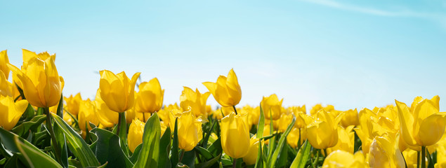 Fotorolgordijn Tulp yellow tulips on field
