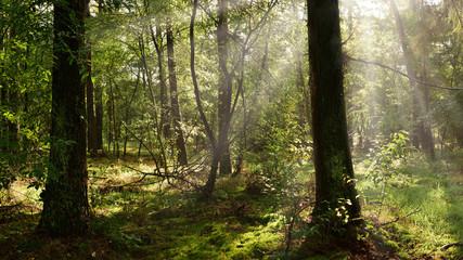 Fototapete - Wald mit zwei großen Bäumen im Vordergrund und Sonnenstrahlen im Nebel im Hintergrund
