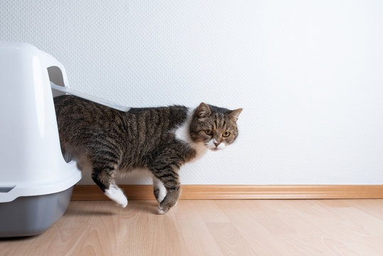 side view of tabby british shorthair cat leaving hooded gray cat litter box with flap entrance on wooden floor in front of white wall with copy space looking to the side