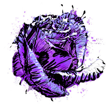 Anthophyta 057a - Hand painted rose flower illustration.  Rich purple and lilac shaded watercolour with black ink on a white background.
