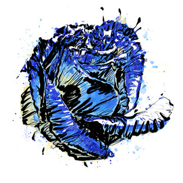 Anthophyta 057c - Hand painted rose flower illustration.  Cobalt blue, pale green and yellow watercolour with black ink on a white background..
